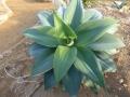 Agave attenuata blue
