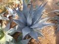 Agave desertii simplex
