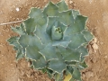 Agave istmensis