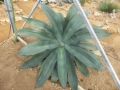 Agave pedunculiflora
