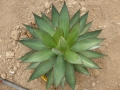 Agave romanii forme pale
