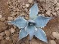 Agave parrasana variegata