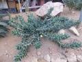 Aloe mitriformis ssp distans