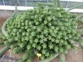 Aloe juveana