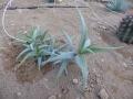 Aloe millotii