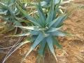 Aloe salmdyckiana