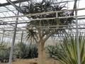 Aloe barbarae