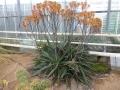 Aloe branddraaiensis