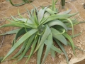 Aloe buhrii