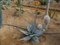 Aloe capitata (2)