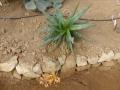 Aloe capitata v.angavoana
