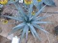 Aloe capitata v.antogona
