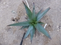 Aloe capitata v.cipolinicola