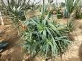 Aloe cheranganiensis