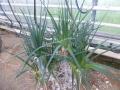 Aloe cooperii