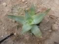 Aloe deltoideodonta v.fallax