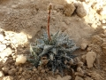 Aloe descoingsii X haworthioides