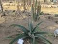 Aloe dyeri