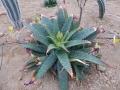Aloe greatheadii v.daryana