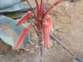 Aloe imalotensis v. longeracemosa