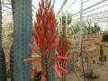 Aloe kedongensis