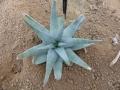 Aloe krapohliana