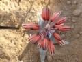Aloe laeta