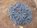 Aloe parvula X dumoulinni