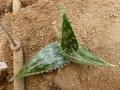 Aloe pirottae