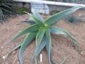 Aloe pseudorubroviolacea