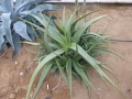 Aloe rigens