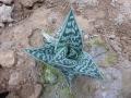 Aloe sladeniana
