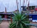Aloe spinosissima X