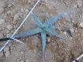 Aloe tweediae