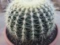 Echinocactus grusonii.JPG