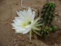 Echinopsis bridgesii  .JPG