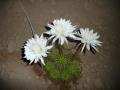 Echinopsis calochlorum.JPG