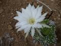 Echinopsis subdenudata  .JPG
