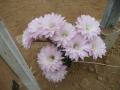 Echinopsis x paramount  .JPG
