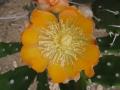 Opuntia bispinosa