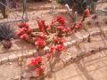 Trichocereus huascha rouge