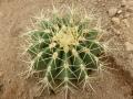 Ferocactus alamosanus v.reppenhagenii.JPG