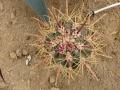 Ferocactus chrysacanthus rubrispinus