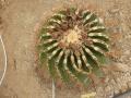 Ferocactus cylindraceus v.rostii