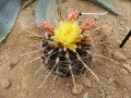 Ferocactus hamatacanthus v.davisii