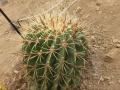 Ferocactus melocactiformis