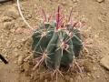 Ferocactus peninsulae v.townsendianus