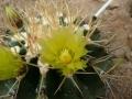 Ferocactus schwartzii