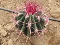 Ferocactus stainesii v.haematacanthus