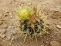 Ferocactus viridescens v.litoralis